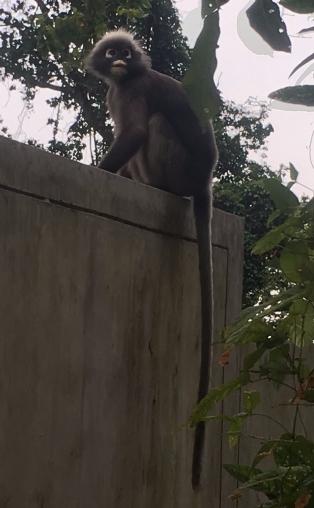 Tonsai monkey