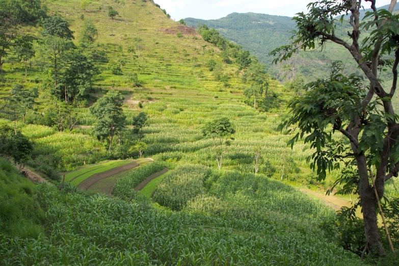 Lush farming terraces outside of Bhulbhule