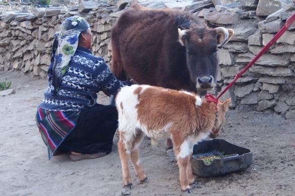 Fetching milk in Muktinath
