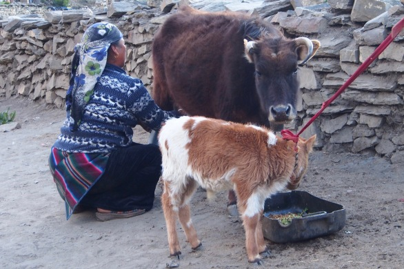 Fetching milk in Muktinath