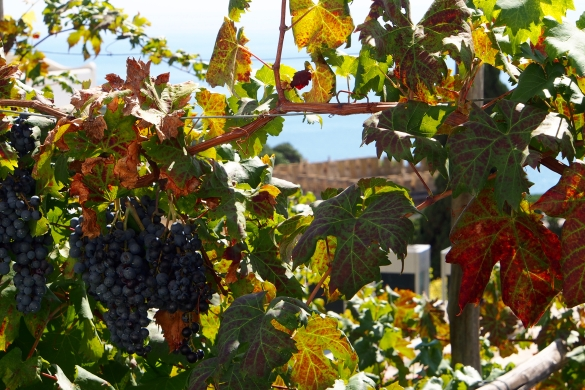 Vineyards casually decorate many homes and businesses on Capri