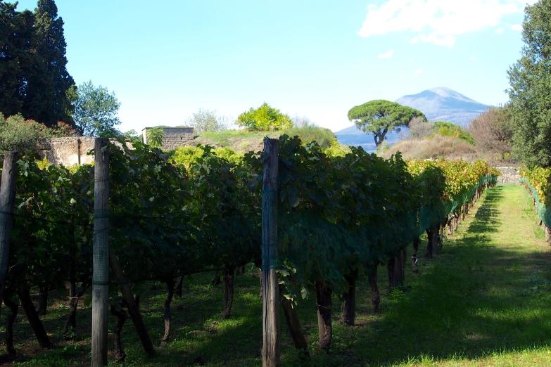 Vineyards beneath Mount Vesuvius